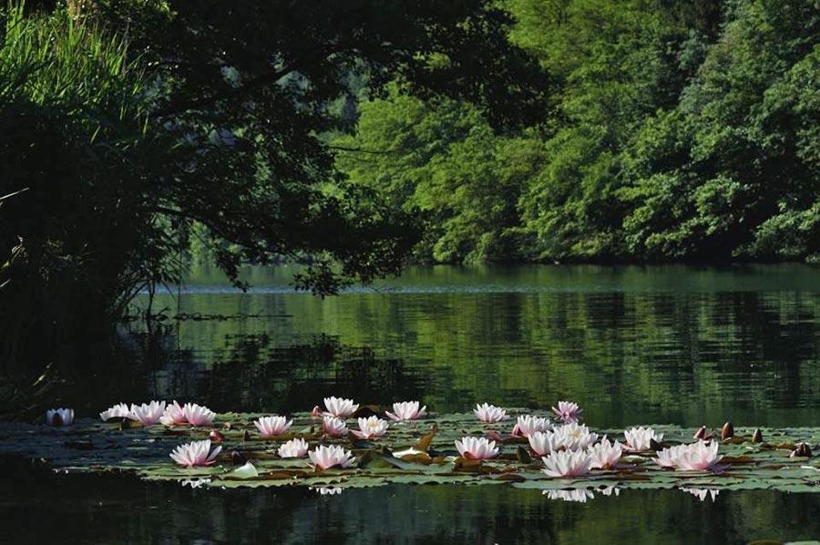 Lago di Levico: ninfee sul lago - Bruno Lucchi